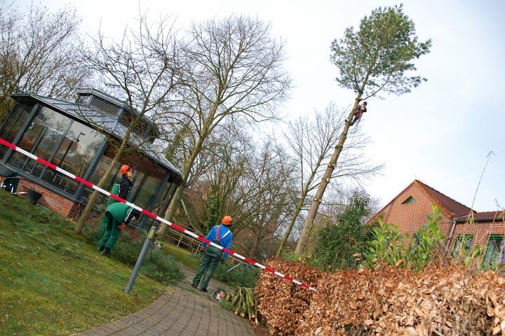 Baumfällung durch Seilkletterer