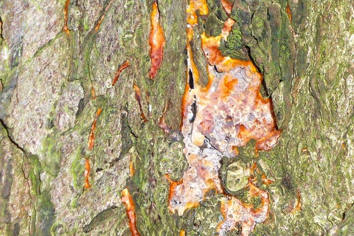 Pilz unter Baumrinde